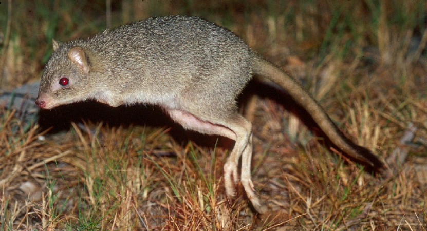 Bye-bye beautiful bettong?