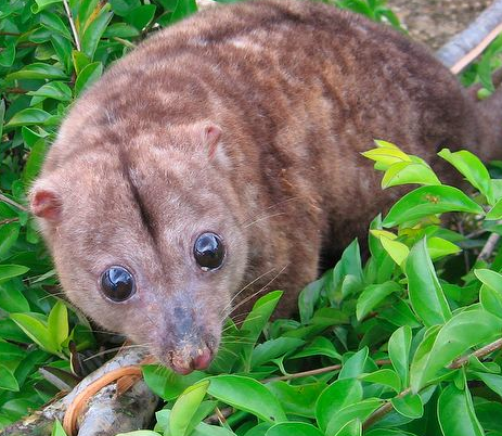The Woodlark cuscus -- worried about loggers