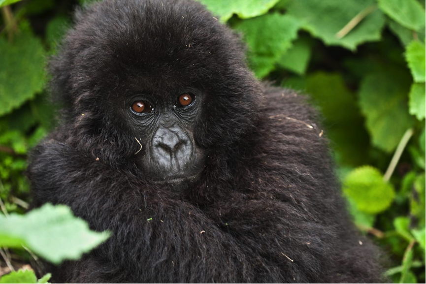Needs a home: Mountain gorillas now survive in just a few protected areas in East Africa  (photo (c) Liana Joseph)