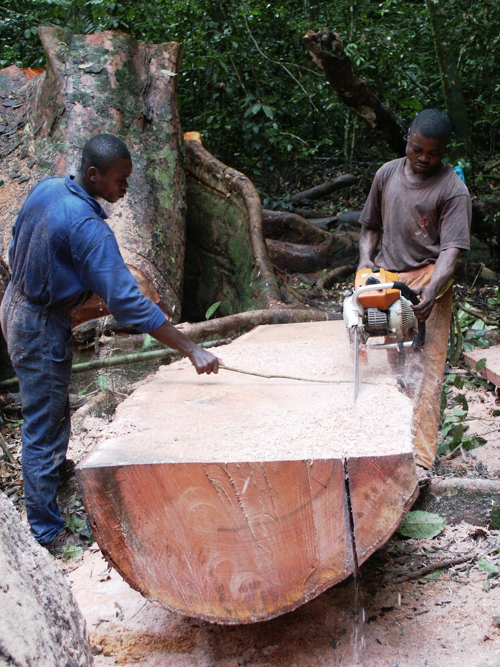 Loggers in the Congo... timber harvest in Gabon (photo by Bill Laurance)