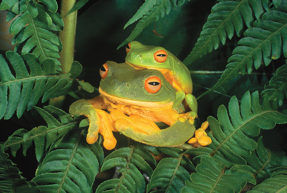 Biodiversity in retreat...  many frogs are imperiled (photo by Mike Trenerry)