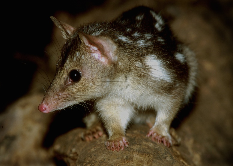 A northern quoll. This native marsupial 'cat' is suffering greatly in northern Australia.