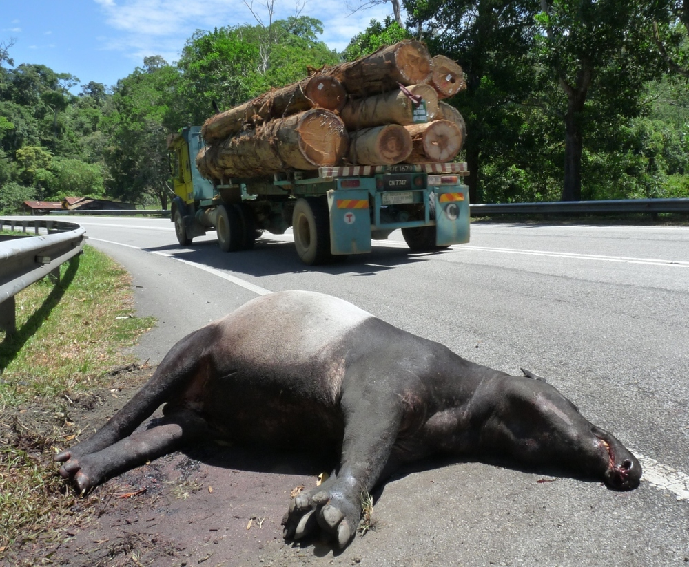 Road kill.  Roads and other infrastructure in wilderness areas often have fatal impacts on nature (©WWF-Malaysia/Lau Ching Fong).