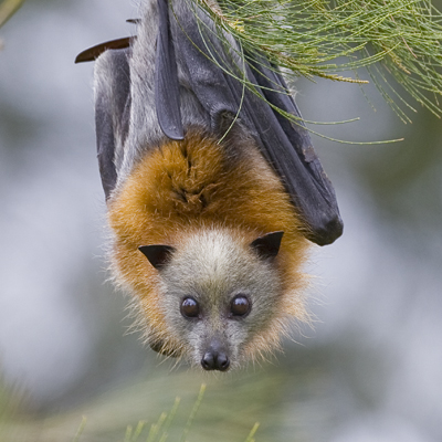 Doesn't like the heat... a grey-headed flying fox.