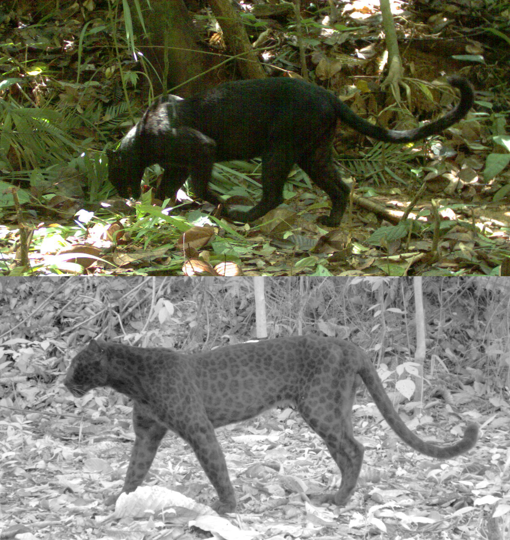 Automatic photos of black leopards without and with an infrared flash  (images (c) Rimba).