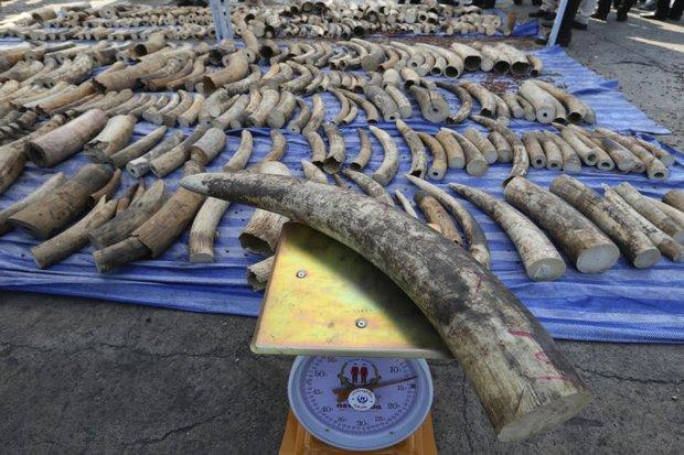 Intercepted ivory headed for Laos