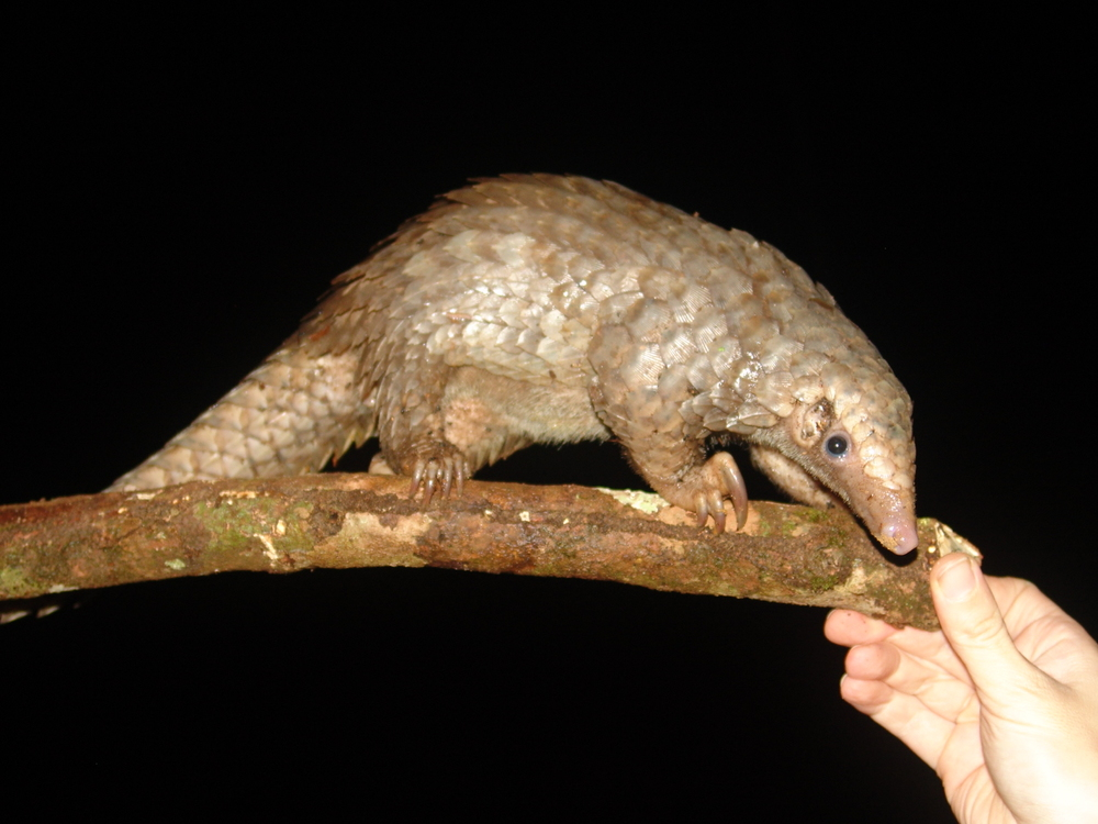 An African tree-pangolin (photo by William Laurance)