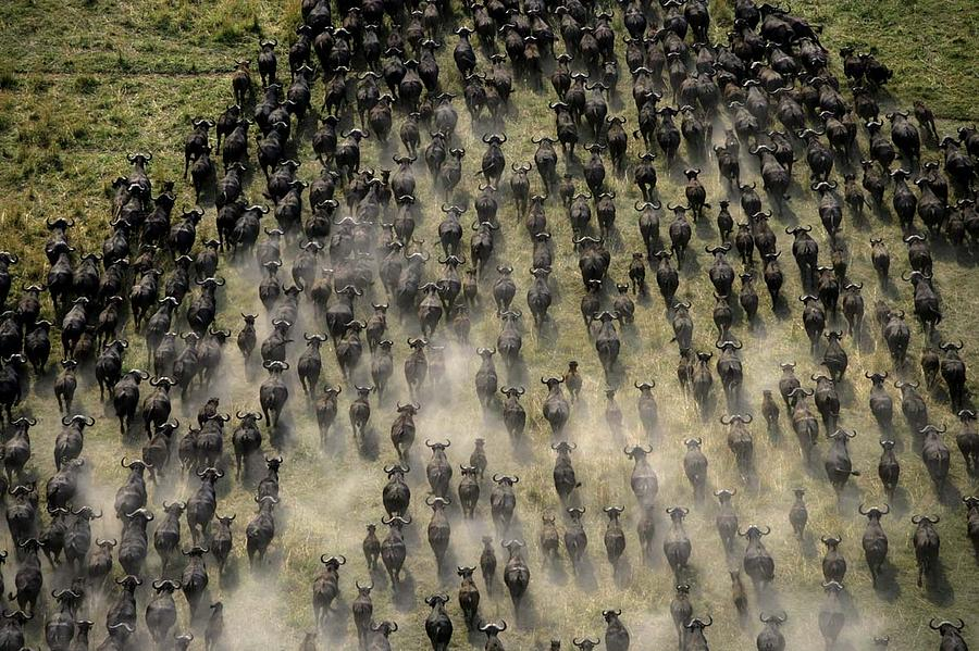 Move or die: Cape Buffalo in Africa