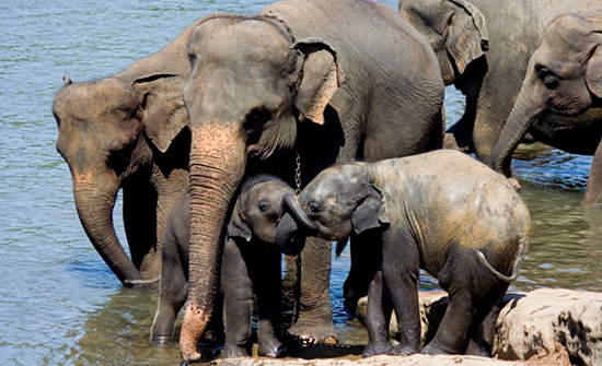 Shrinking refuges for Asian Elephants.