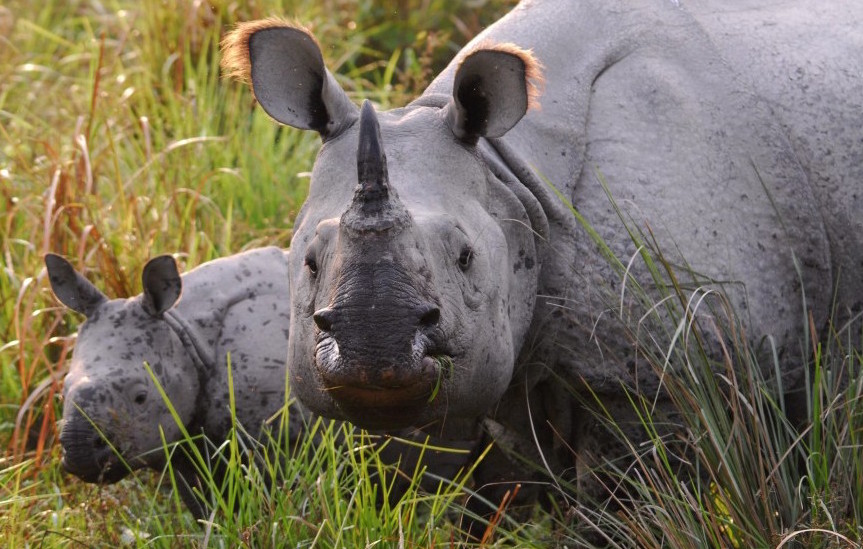 India's One-horned Rhinoceros is just clinging to survival.