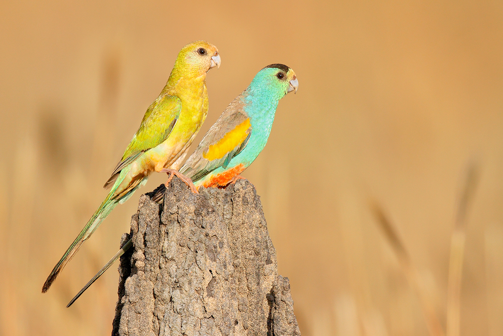 The critically endangered Golden-shouldered Parrot is another big worry  (image from Karl Seddon, http://webgram.co/karlseddon).