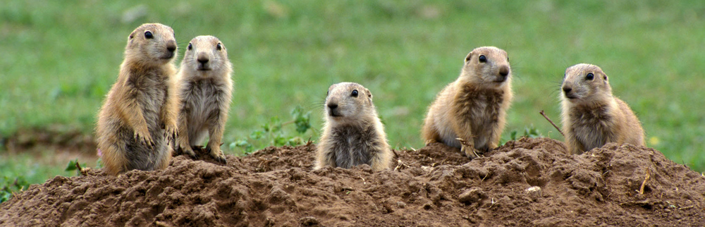 Prairie dogs: Persecuted to the edge of extinction
