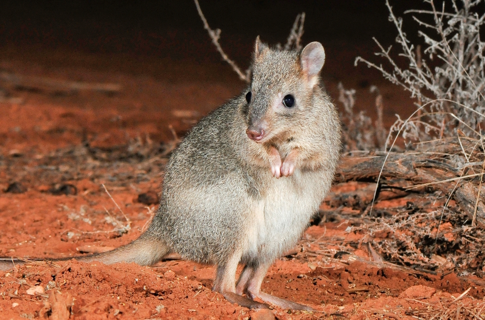 Brush-tailed bettong -- a critter we don't want to lose.