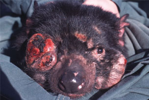 Tasmanian Devil with facial tumors -- not a pleasant way to go.