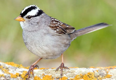 White-crowned sparrow: stressed-out by noise