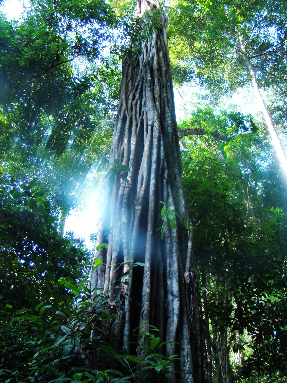 A stately acaricuara tree from central Amazonia (photo by William Laurance).