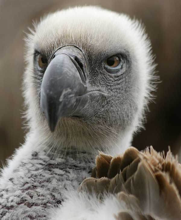 Many vulture species raise just a single chick at a time, making them highly vulnerable to population crashes