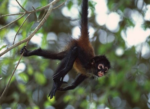 Spider monkeys are essential seed dispersers