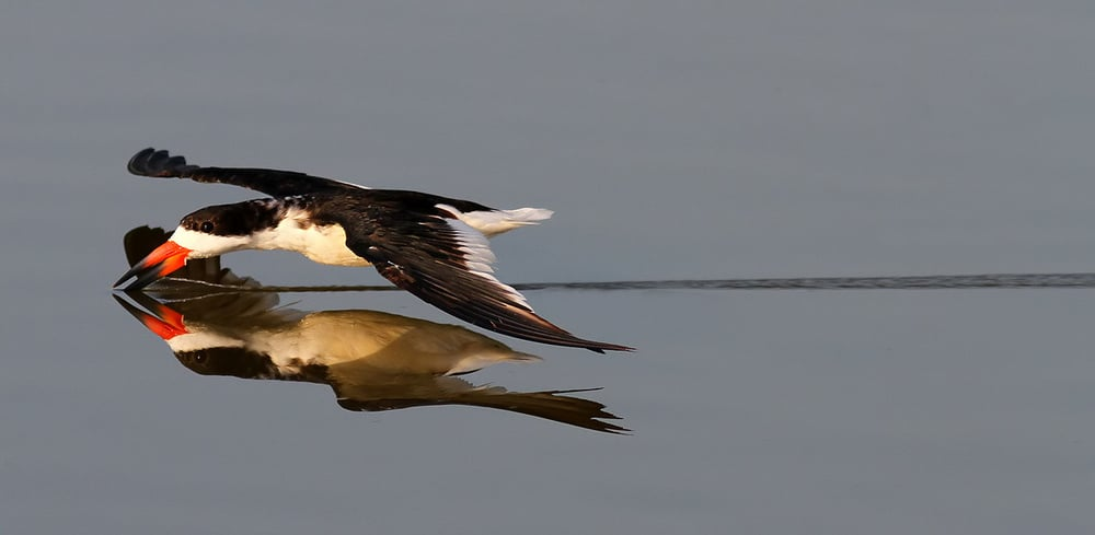 A foraging Black Skimmer