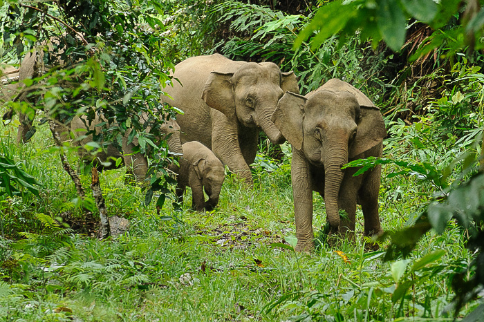 Disappearing fast: Wild elephants in Malaysian Borneo