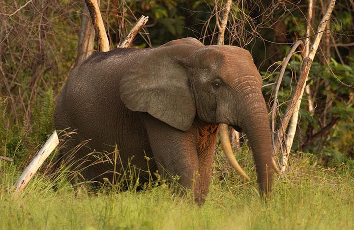 Gabon-elephant.jpg