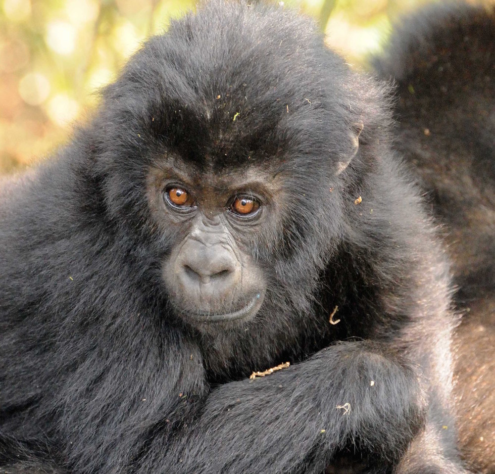 Juvenile gorillas have long-term bonds with their mother (photo by Andrew Plumptre)