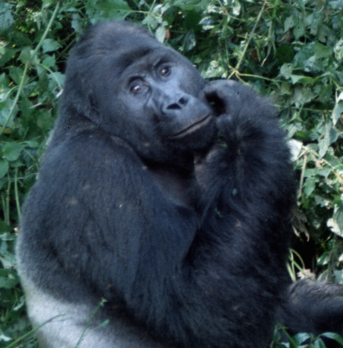 One of our closest relatives, pondering an imperiled future  (photo by Jefferson Hall)