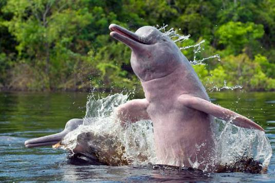 Ganges River Dolphins -- perilously close to extinction.