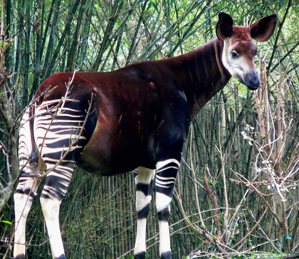 An Okapi -- the 'giraffe of the rainforest'
