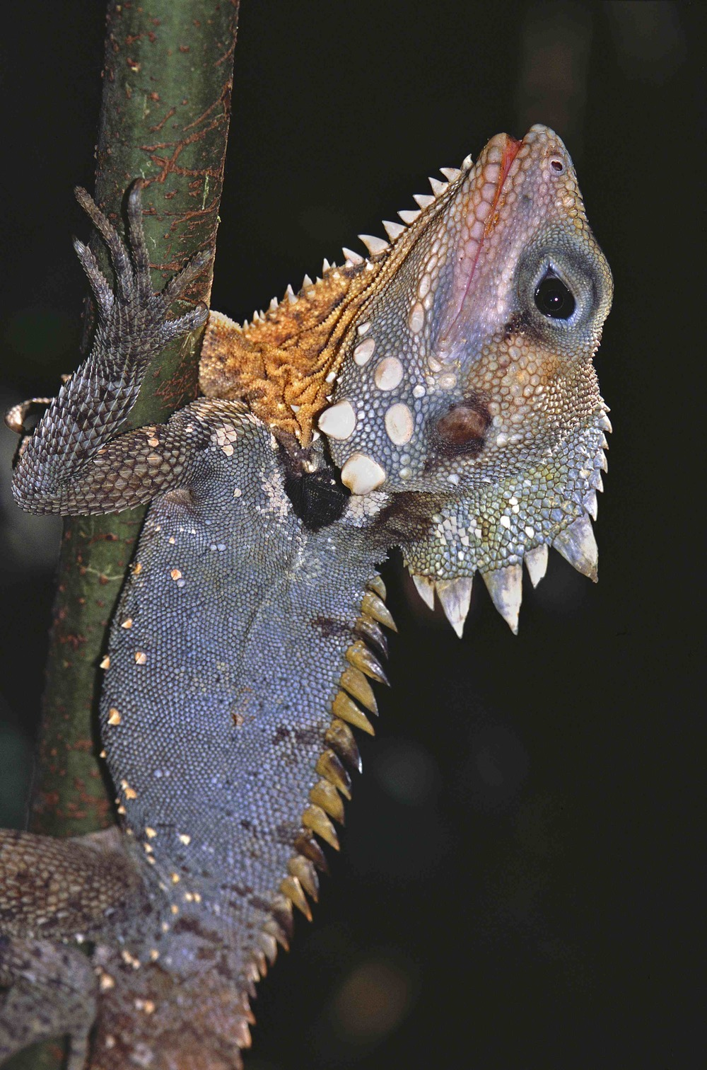 A rainforest denizen, the Boyd's Forest Dragon (photo by Martin Cohen)