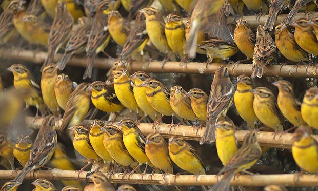 Illegally captured Yellow-breasted Buntings confiscated in China.