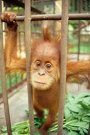 Baby Orangutan for sale.