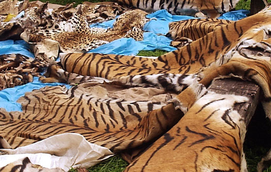 Tigers slaughtered for their pelts, bones, and teeth.
