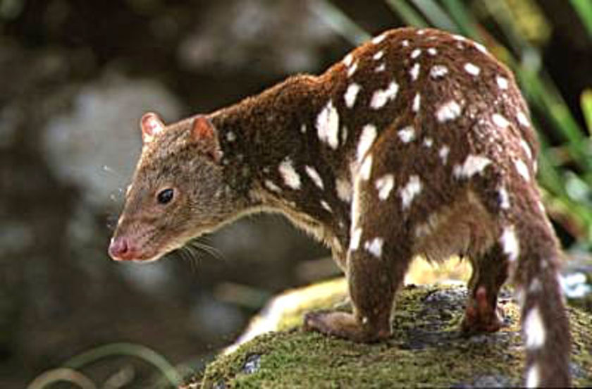 Weighing just a few kilograms, the Spotted-tailed Quoll is today one of Australia's larger native predators.