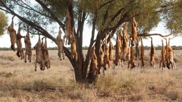 Dingo control in southern Australia.