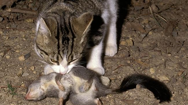 Feral cats abound across large expanses of Australia.