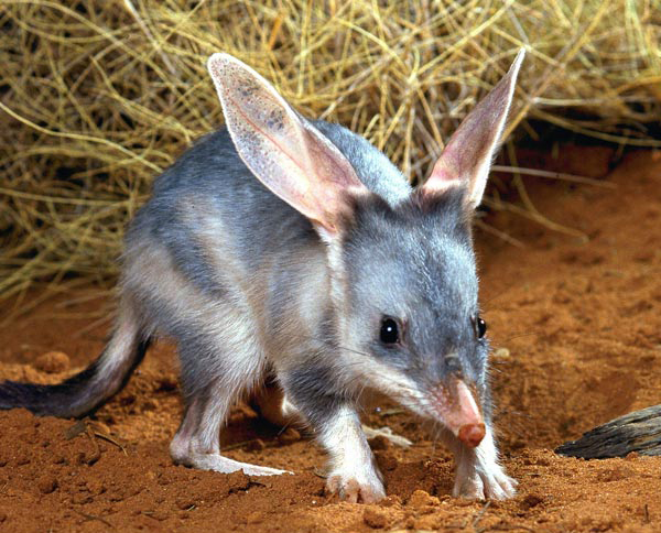 The Greater Bilby survives today but its populations are declining, while the related Lesser Bilby has become extinct.