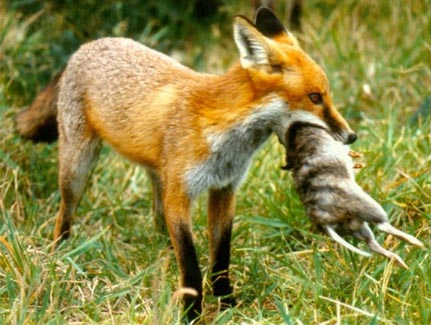 The red fox was first introduced to Australia from Europe in the 1830s.