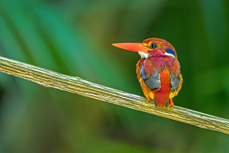 The endangered Philippine Dwarf Kingfisher.