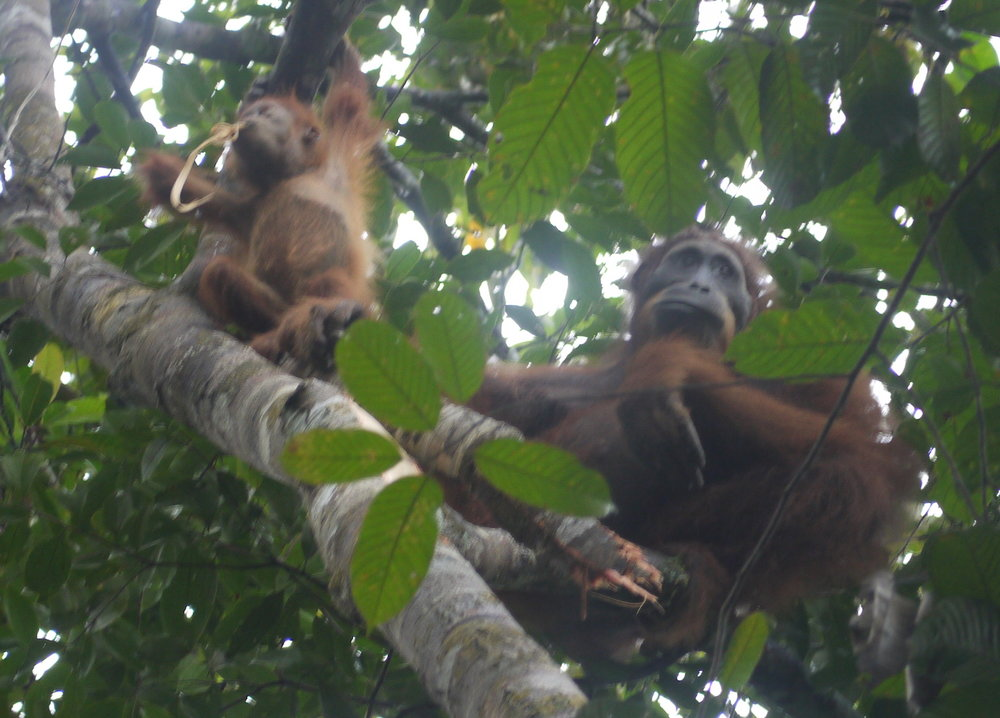 A mother Orangutan and her baby feeding on bark they've stripped off a tree  (photo by William Laurance)