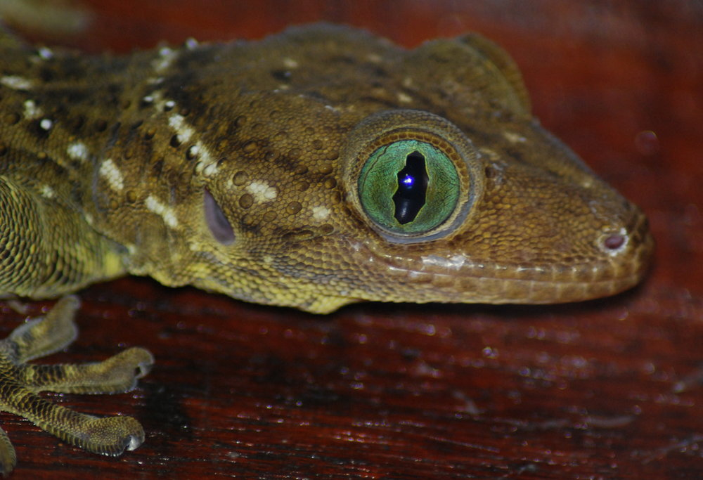 The glorious beauty of a rainforest gecko (photo (c) Suprayudi)