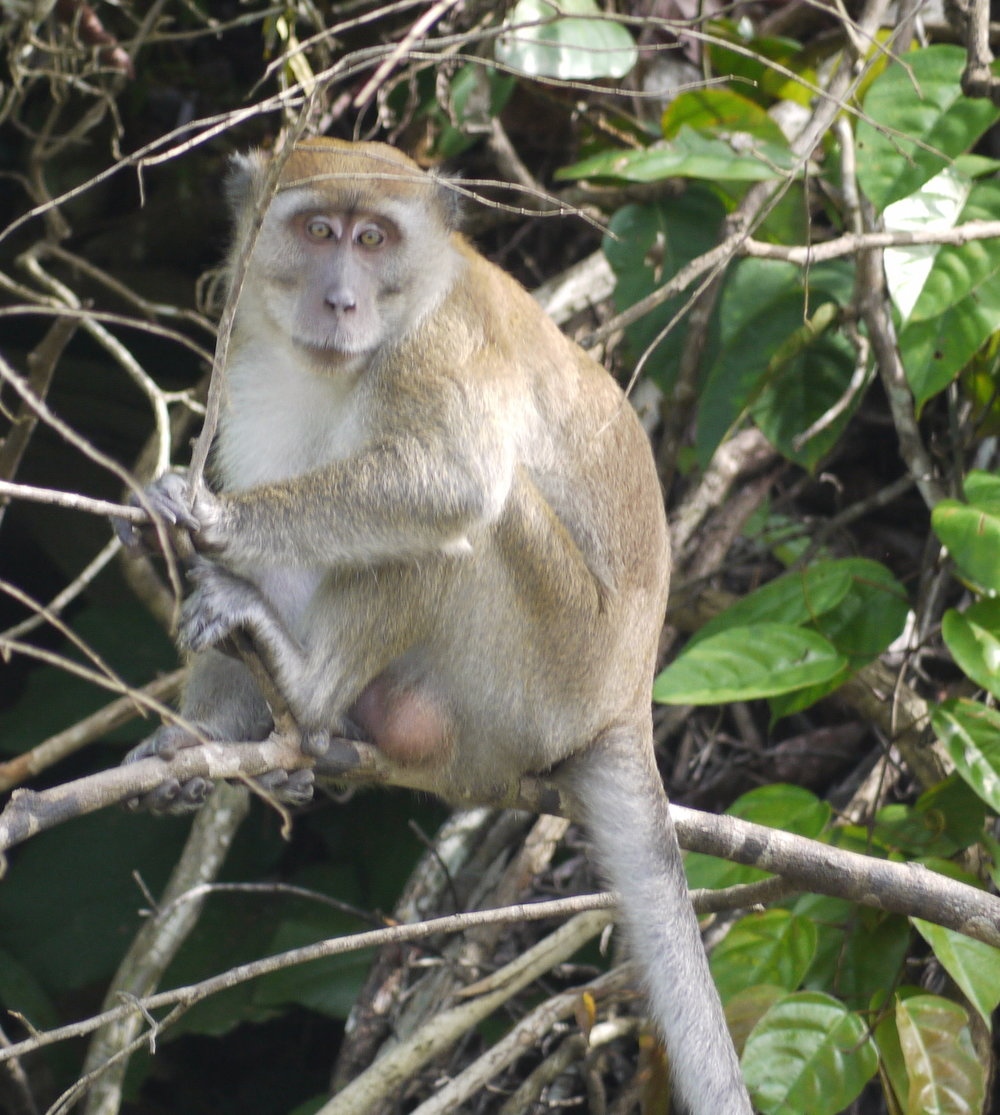 One of the bolder Long-Tailed Macaques -- the rest of his troop had already fled as we approached (photo by William Laurance)