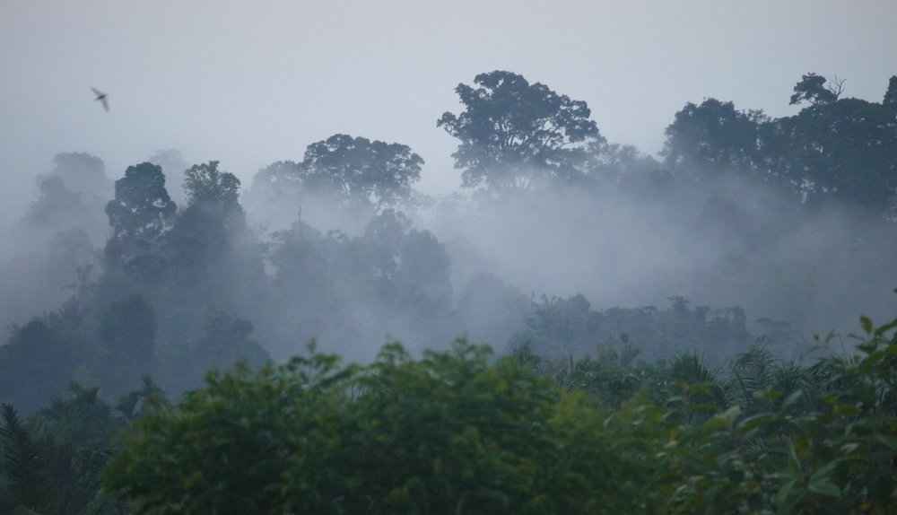 An evening mist settles over the rainforest  (photo by William Laurance)