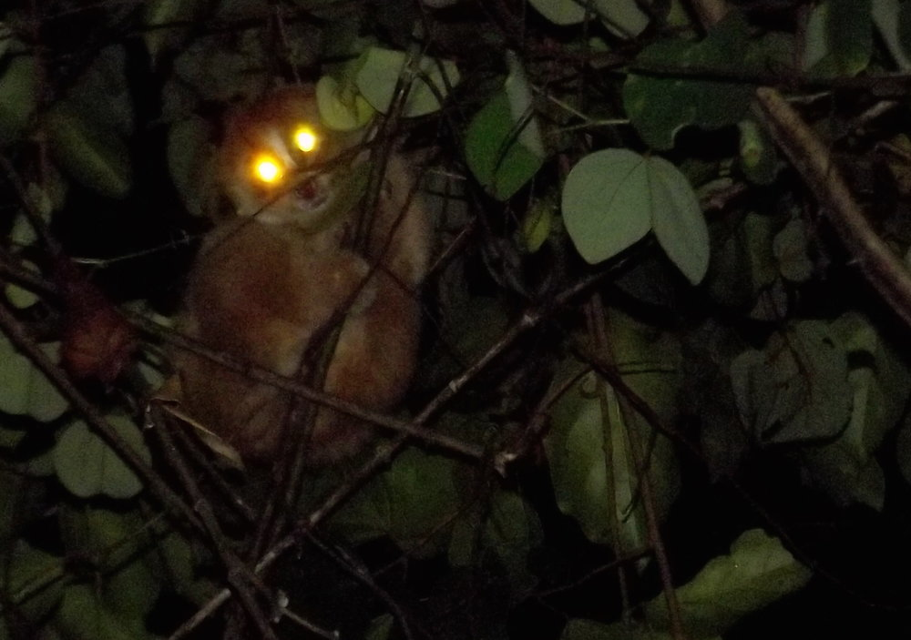We saw amazing things at night. A spotlight reveals the huge eyes of a Slow Loris, a rainforest primate  (photo (c) Siprayudi).