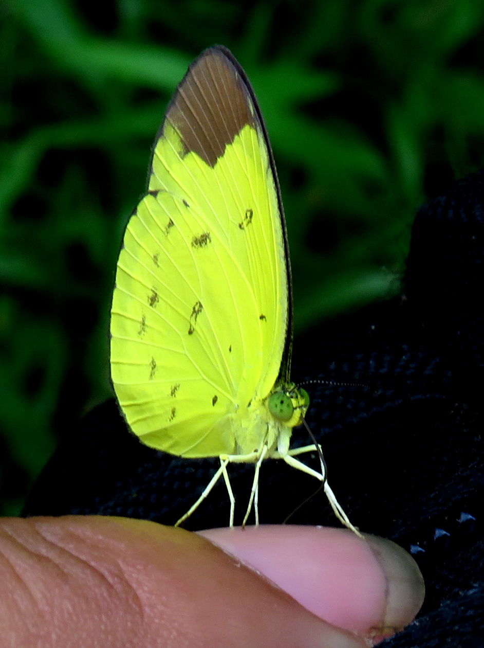 Rainforest butterfly in Sumatra, Indonesia  (photo (c) Supri Katambe)