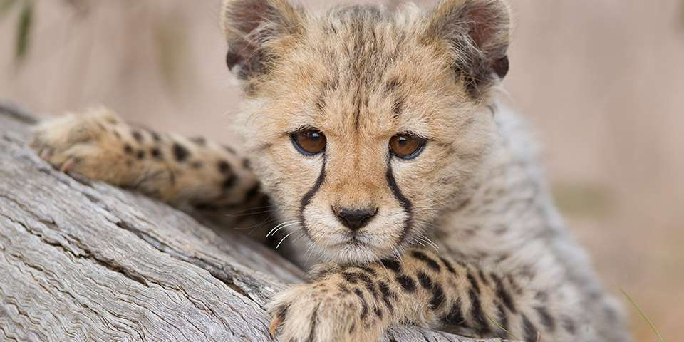 Worrying genetic problems plague Cheetahs.