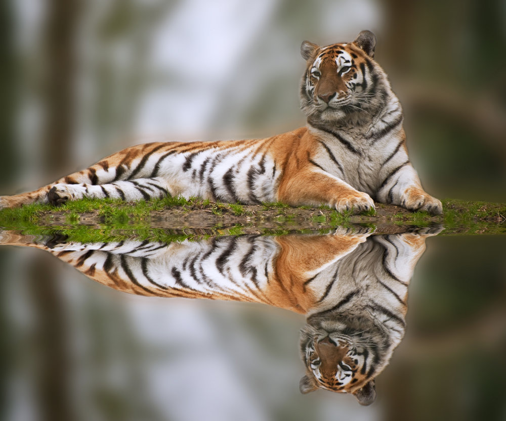 Handsome tiger reflects by a pool  (c) Matt Gibson/Shutterstock