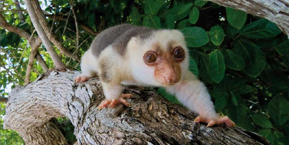 A cuscus, a tree-dwelling marsupial from New Guinea