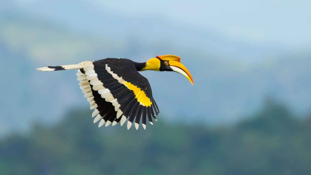 Hornbill in flight (photo (c) Borneo Wildlife)