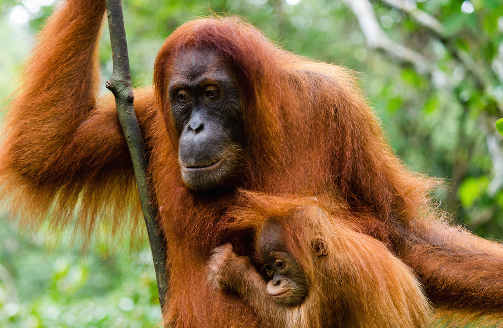 Sumatran orangutans are hanging on for survival  (Image (c) Richard Whitcombe)